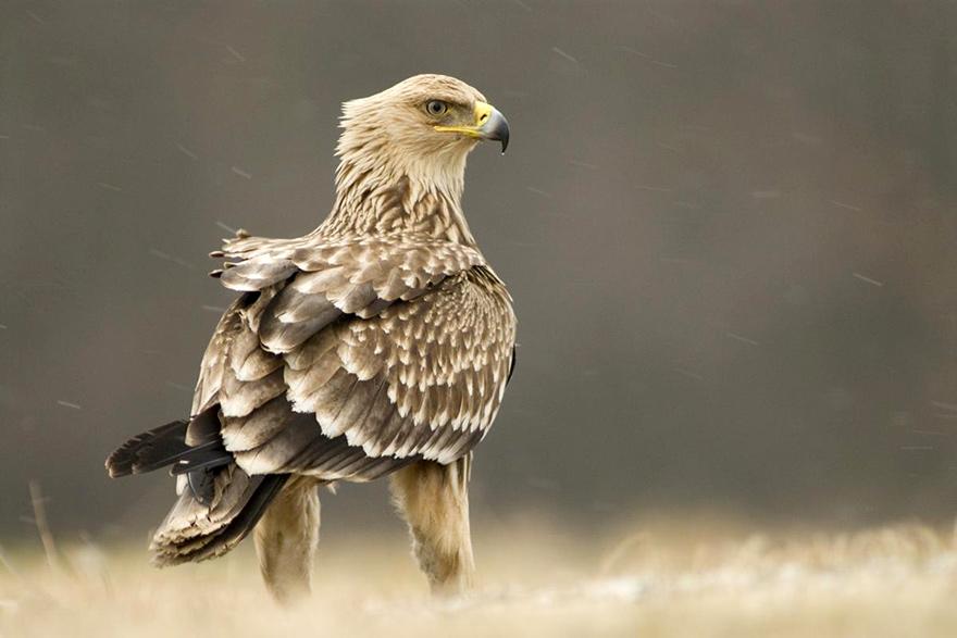 Orao Krstas Srbija Imperial Eagle